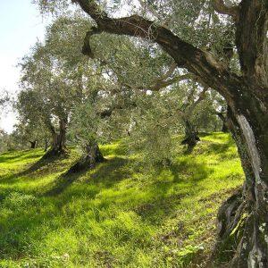 (Agriturismo Fattoria La Prugnola - Antichi olivi)