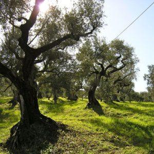 (Agriturismo Fattoria La Prugnola - Olivi)