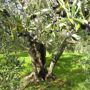 (Agriturismo Fattoria La Prugnola - Olive pronte alla raccolta)